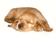 Baby English  cocker spaniel. Baby English cocker spaniel sleeping Royalty Free Stock Photos