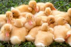 Baby-Enten in einem Wirrwarr Stockfotografie