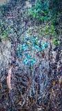 Baby-Eukalyptus kämpft, um zu glänzen stockbild