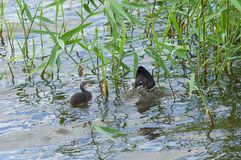 Baby of eurasian coot waiting for the fish food Royalty Free Stock Image