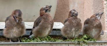 4 Baby Eurasian jay (Garrulus glandarius) Feeding Stock Images
