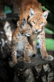 Baby Eurasian Lynx in the forest Royalty Free Stock Images