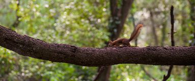 Baby Eurasian Red Squirrel balancing on branch royalty free stock images