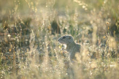 Baby of european ground squirrel. Hidden in yellow grass royalty free stock photography