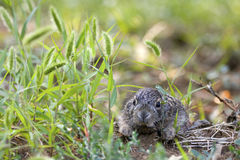Baby European hare first exploration. Royalty Free Stock Photo