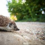 Baby European Hedgehog Stock Photography