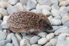 Baby European hedgehog walking across pebbles. Closeup of baby European hedgehog walking across pebbles royalty free stock image