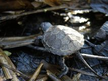 Baby European Pond Turtle in natural enviroment. Baby European Pond Turtle walking in natural enviroment stock photography
