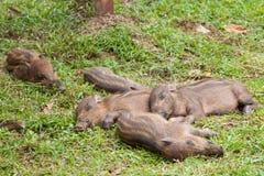 Baby everzwijnen die op gras slapen Royalty-vrije Stock Foto