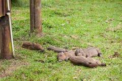 Baby everzwijnen die op gras slapen Royalty-vrije Stock Foto's