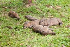 Baby everzwijnen die op gras slapen Stock Foto