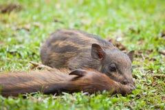Baby everzwijnen die op gras slapen Stock Foto's