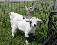 Baby Fainting Goats Stock Photos