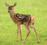Baby Fallow Deer Royalty Free Stock Images