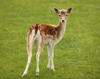 Baby Fallow Deer Stock Images