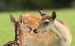 Baby Fallow Deer Stock Image