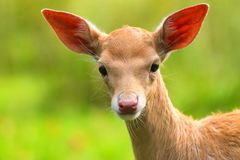Baby fallow deer with green blurred background. royalty free stock photo