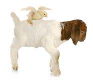 Baby farm animals Stock Image