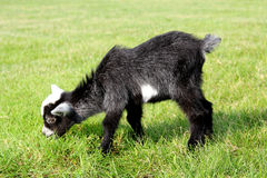 Baby Farm Goat Eating Grass Royalty Free Stock Images