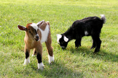 Baby Farm Goats Eating Grass. Two baby goats on a farm are outside grazing and eating grass Royalty Free Stock Image