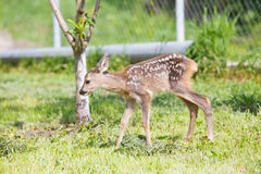 Baby fawn Royalty Free Stock Photo