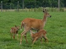 Baby fawn feeding off doe stock image