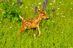 Baby fawn in field of wildflowers. royalty free stock images