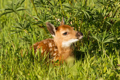 Baby fawn in green grass Royalty Free Stock Photos