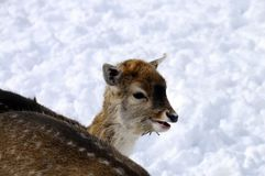 Baby fawn in the snow Royalty Free Stock Images