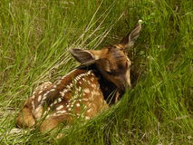 Baby fawn hiding in the grass Royalty Free Stock Photos