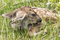 Baby fawn. A new baby deer, it was so new it was still wet and had blue eyes royalty free stock photo