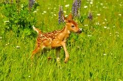 Baby fawn op gebied van wildflowers. Royalty-vrije Stock Afbeeldingen