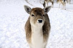 Baby fawn in the snow Royalty Free Stock Image