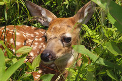 Baby Fawn In Spring. Close-up of a baby fawn taken at Big Meadow, Shenandoah National Park, Virginia in spring in horizontal format Royalty Free Stock Photos
