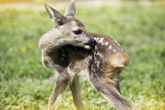 Baby fawn Stock Image