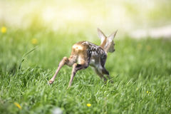 Baby fawn Stock Photography