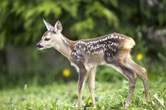 Baby fawn Stock Images