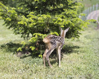 Baby fawn Royalty Free Stock Photography