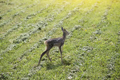 Baby fawn Royalty Free Stock Images