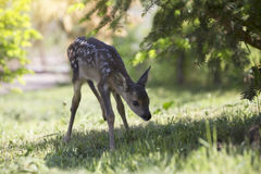 Baby fawn Royalty Free Stock Photos