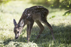 Baby fawn Stock Photos