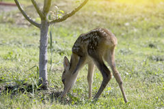 Baby fawn Royalty Free Stock Image