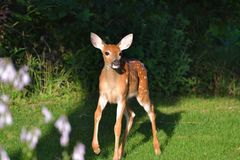 Baby fawns venture. Baby deer venturing out of the woods into the meadow Stock Images