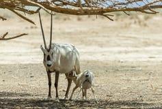 Baby and female of antelope Arabian white oryx Oryx dammah Royalty Free Stock Images
