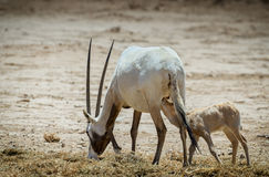 Baby and female of antelope Arabian white oryx Oryx dammah Stock Image