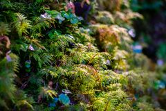 Baby Ferns in the Rainforest. Beautiful greenery with the morning light showing on some baby ferns stock images