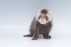 Baby ferret. Ferrets are loved pets by many and can be trained to be used for rabbit hunting Royalty Free Stock Photography