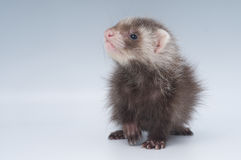 Baby ferret. Ferrets are loved pets by many and can be trained to be used for rabbit hunting Royalty Free Stock Photos