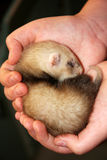 Baby ferret Stock Photo