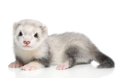 Baby ferret on a white background Stock Images